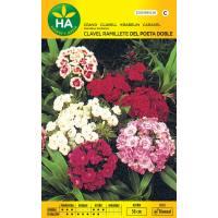 Semillas de flor de clavel ramillete